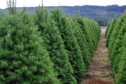 Christmas tree launch on farm business plan