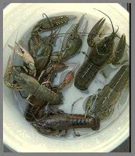 Crayfish farming business