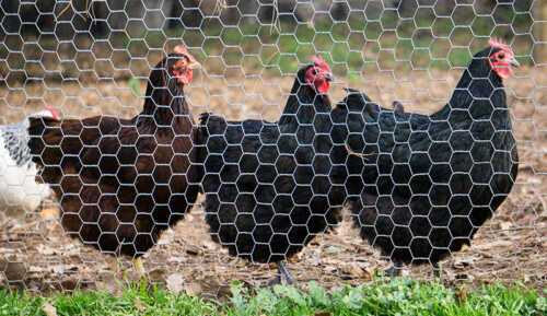 Fencing your poultry farm