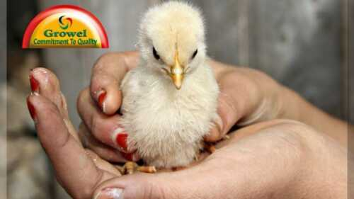 Old Chicks For Sale  Factors To Consider