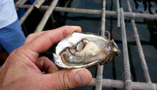 Oyster farming business
