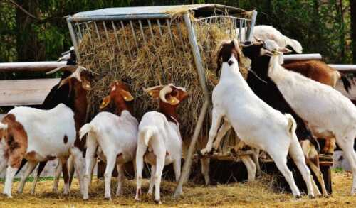Starting a Goat Farm - Example of a Business Plan