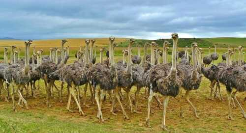 Starting Your Ostrich Farm -  Business Plan