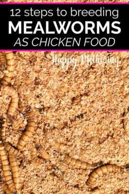 Steps to raising mealworms for your chickens