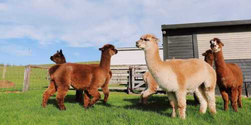 The alpaca farm with no money