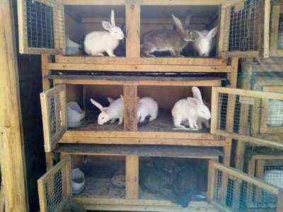Запуск шаблона бизнес-плана для кроличьей фермы