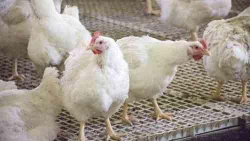 Выбор системы птицеводства 10 факторов, которые следует учитывать