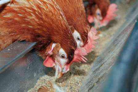 Образец шаблона бизнес-плана для свободного птицеводства