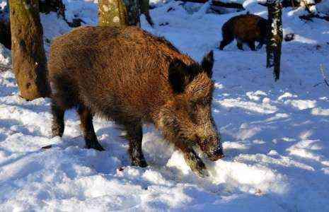 Как заработать деньги на охоте на диких свиней 9 лучших способов сделать это