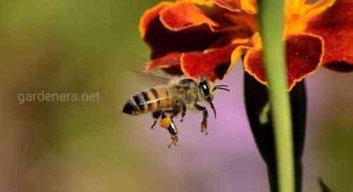 Начать бизнес по выращиванию медоносных пчел