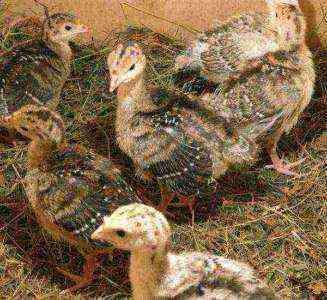 7 простых шагов по выращиванию мучных червей в домашних условиях для цыплят