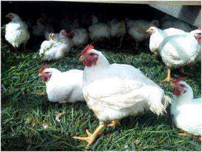 Как органически выращивать курицу на заднем дворе для яичного мяса