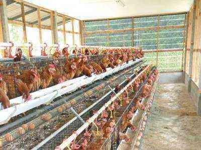 Начать бизнес птицефабрики Сколько это стоит?