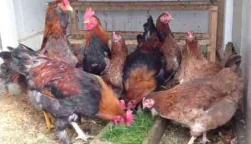 Запуск птицефабрики - Образец шаблона бизнес-плана