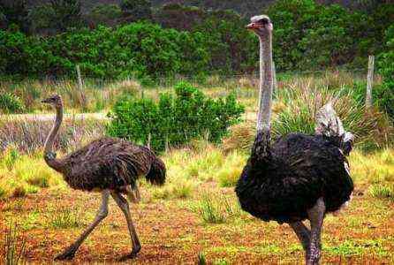Запуск вашей страусиной фермы - Образец шаблона бизнес-плана