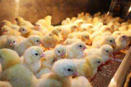 Покупка суточных цыплят на продажу 10 факторов, которые следует учитывать