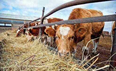 Начиная молочное фермерское дело с нуля