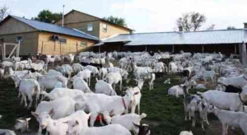 Начинаем бизнес по выращиванию коз