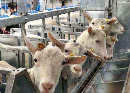 Запуск фермы коз — образец бизнес-плана