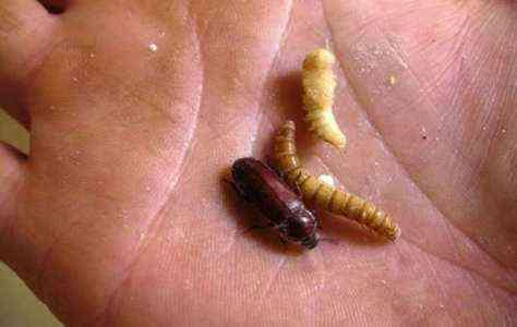 Начинаем фермерский бизнес по выращиванию мучного червя