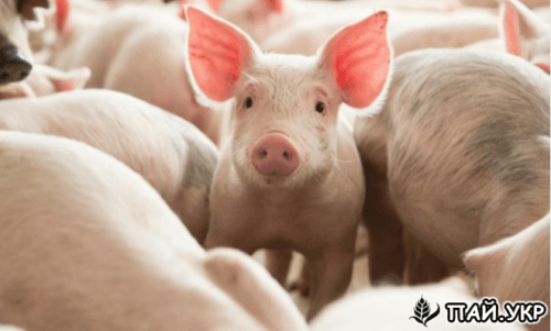 Начать Свиноводство