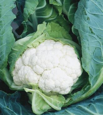 Выращивание цветной капусты: коммерческое руководство по получению прибыли