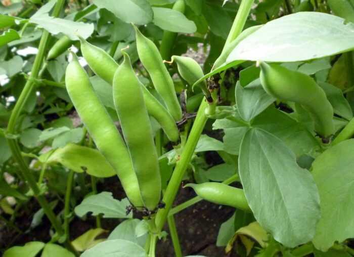 Выращивание бобов мотылька: выращивание бобов мотылька для начинающих