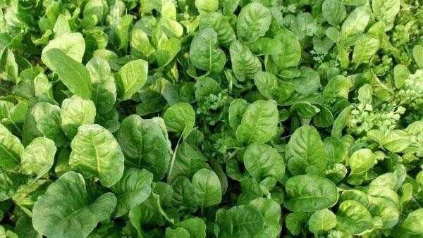 Выращивание чайи: выращивание натурального шпината в домашнем саду
