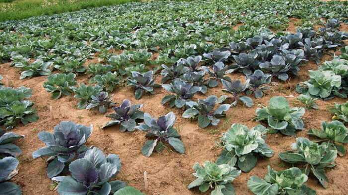 Выращивание капусты: выращивание органической капусты в домашнем саду