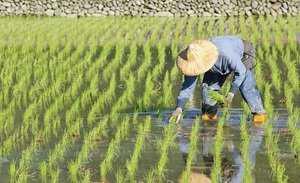 Выращивание риса: как выращивают рис (руководство для начинающих)