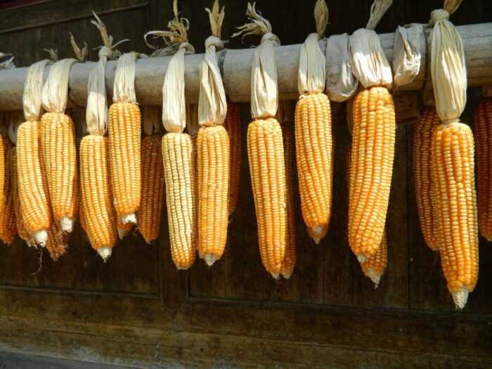 Выращивание сладкой кукурузы: выращивание органической кукурузы в домашнем саду