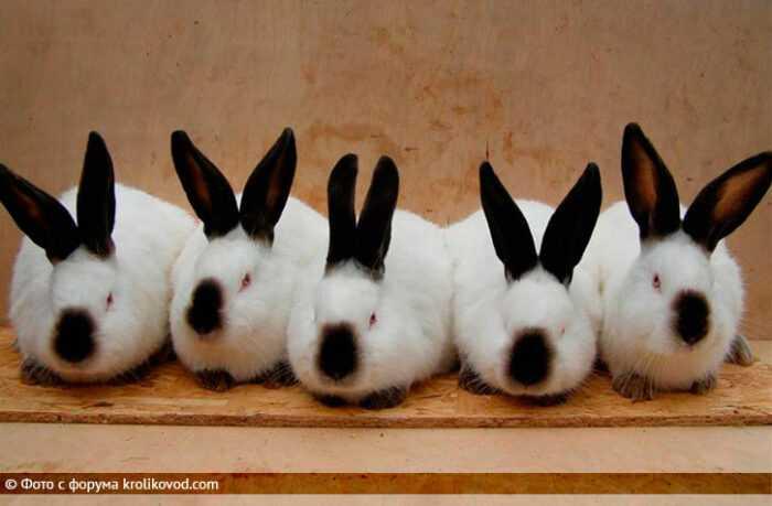 Гималайский кролик: характеристики, использование и информация о полной породе