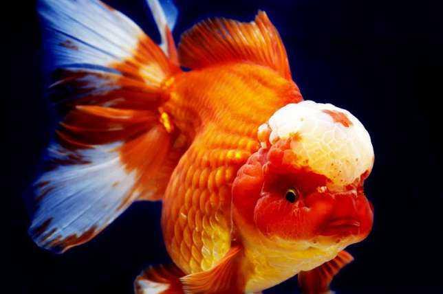 Золотая рыбка Оранда: характеристики, диета, разведение и использование