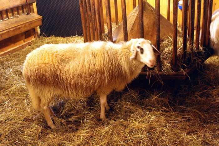 Овцы Tiroler Steinschaf: характеристики и информация о породе