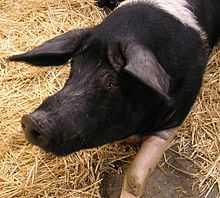 Уэссексская седлохвостая свинья: характеристики и информация о породе
