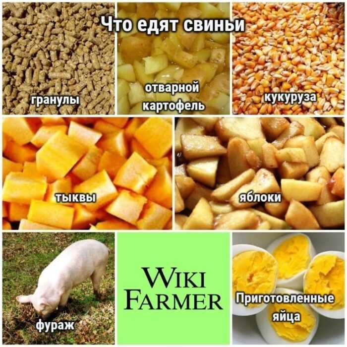 Кормление свиней: как кормить свиней (руководство для начинающих)