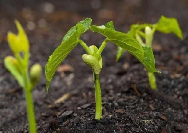 Выращивание фасоли: органическое выращивание фасоли в домашнем саду