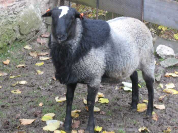 Романовская овца: характеристики, использование и информация о породе