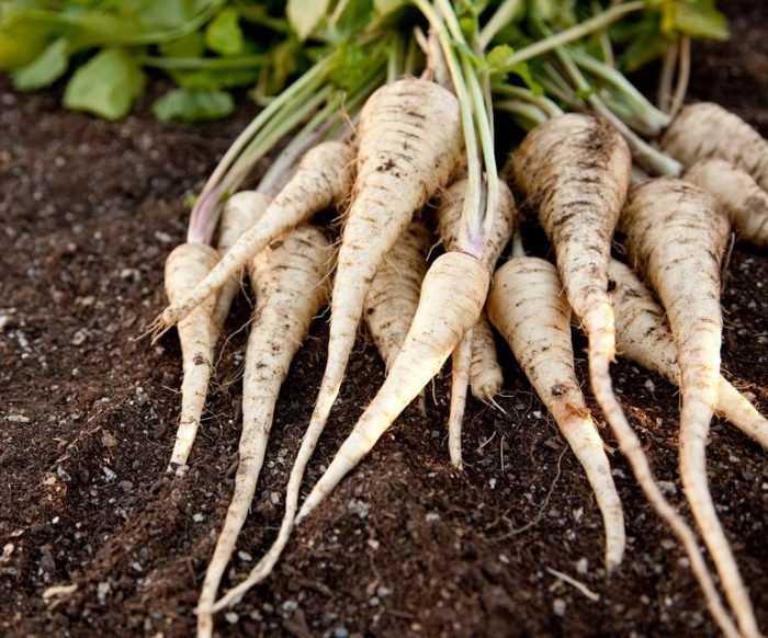 Выращивание пастернака: выращивание органического пастернака в домашнем саду