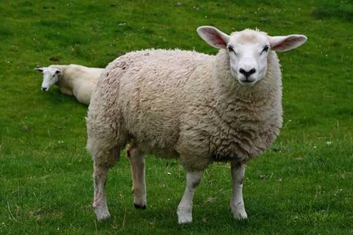 Овцы Скудде: характеристики, происхождение, использование и информация о породе