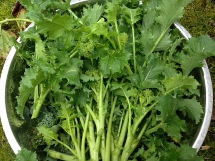 Выращивание рапини: органическое выращивание рапини в домашнем саду