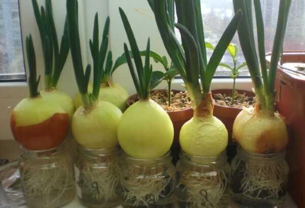 Выращивание лука: выращивание органического лука в домашнем саду