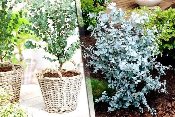 Выращивание эвкалипта: выращивание эвкалипта для начинающих