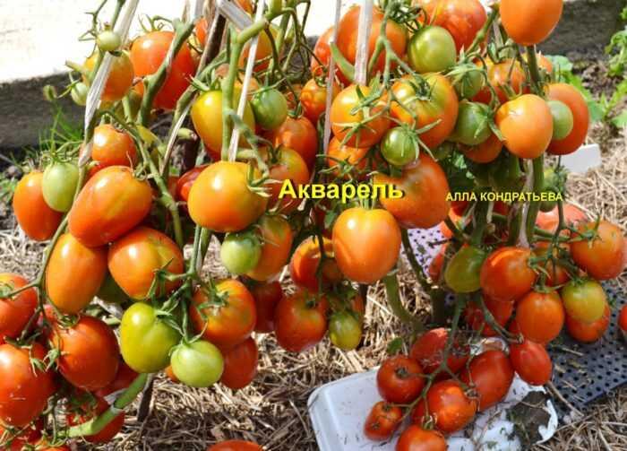Выращивание томатов: коммерческое выращивание томатов для начинающих