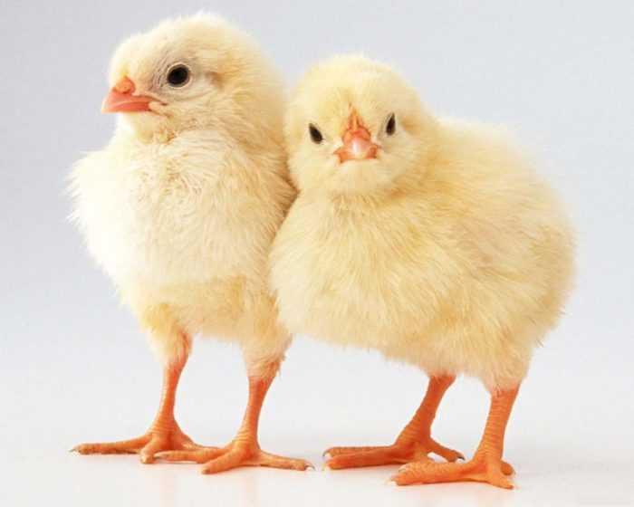Как начать бизнес по выращиванию цыплят: прибыль и план для новичков