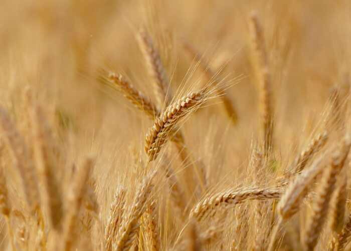 Выращивание пшеницы: стартовый бизнес-план для начинающих
