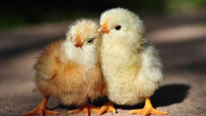 Стоит ли выращивать цыплят: плюсы и минусы выращивания цыплят