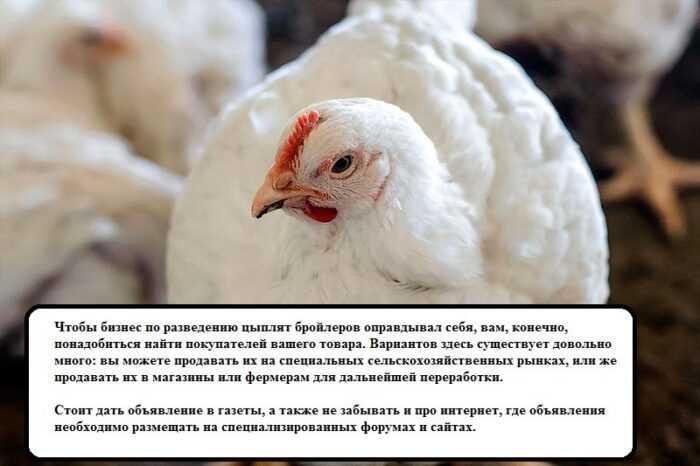 Куриное хозяйство в Пекине: стартовый бизнес-план для начинающих
