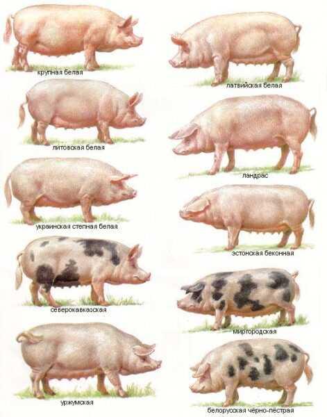 Породы свиней: лучшие породы для свиноводства