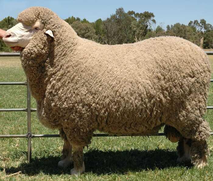 Австралийская овца: характеристики, происхождение, использование и информация о породе